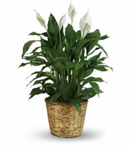 Peace Lily - Large