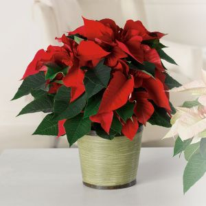 Poinsettia Large