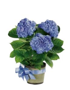 Heavenly Hydrangea  - Sold Out