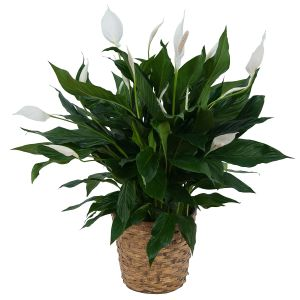 Peace Lily Plant in Basket - small